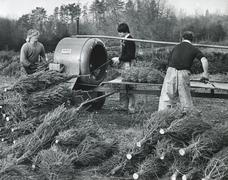 Stock Photo of Christmas tree production