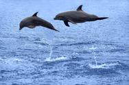 Stock Photo of Dolphins jumping
