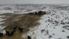 AERIAL -  Winter pasture with herd of cattle. Stock Footage