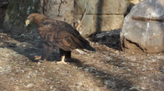 Wedge Tailed Eagle Stock Footage