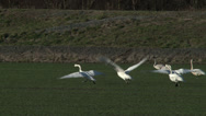 Stock Video Footage of Swans Take Flight, Run, Takeoff, 4K