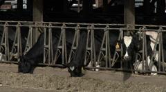 Dairy Cows, Cow, Barn, Eating, Herd, 4K Stock Footage