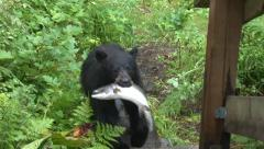 Alaska Bear Cub Stock Footage