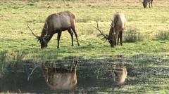 Pacific Northwest Roosevelt Elk Stock Footage