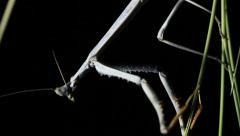 Giant Praying Mantis Stock Footage