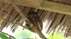 Philippine tarsier Stock Footage