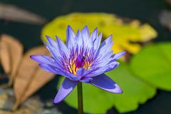 lotus flowers - stock photo