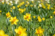 Stock Photo of yellow daffodils
