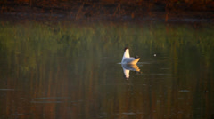 Black headed gull swimming in the lake in the evening, raining Stock Footage
