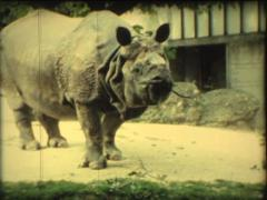 SUPER8 rhinoceros eating at the zoo Stock Footage