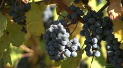 Red grapes hanging in a vineyard Stock Footage