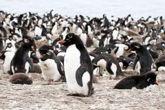 Stock Photo of rockhopper penguin and chick