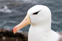 Black-browed albatross closeup Stock Photos