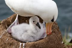 black-browed albatross and her chick - stock photo