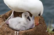 Stock Photo of black-browed albatross and her chick