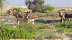 Wild_Asses_Burros_In_The_Desert Stock Footage