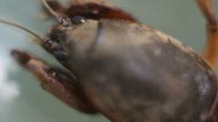 Gryllotalpidae - Mole Cricket Stock Footage