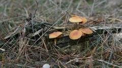 Group of inedible orange mushrooms. Stock Footage
