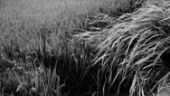 Stock Video Footage of long dry grass swing in wind,shaking wilderness.