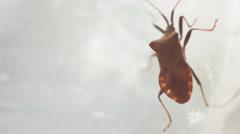 Picromerus bidens - bug. Stock Footage