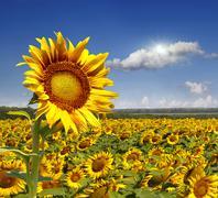field of sunflowers. - stock photo