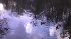 Ducks on the winter pond. Stock Footage