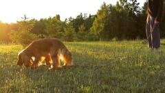 Dog walking in the garden in the evening in summer, sun rays Stock Footage