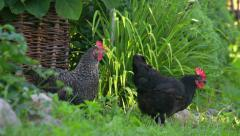 Two dark hens in the garden on the grass in summer Stock Footage