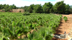 Europe Spain Balearic Ibiza coves and landscapes 083 palm plantation in country Stock Footage