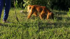 Dog searching for something in the grass in the country, sun rays Stock Footage
