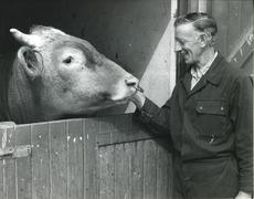 Stock Photo of Newbury district farmer greets bull