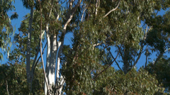 Massif de L'Esterel Eucalyptus Leaves in Wind Stock Footage