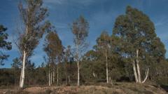 Massif de L'Esterel Eucalyptus Stand Stock Footage