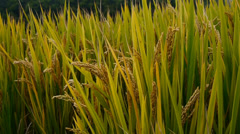 Closeup of asian golden rice paddy in wind,wait for the harvest. Stock Footage