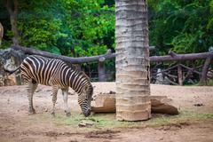 Zebras in the grasslands. Stock Photos