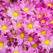 Close up of beautiful flowers pink chrysanthemums Stock Photos