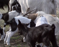 Ruminating female goat with kids Stock Footage