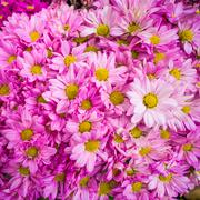 bouquet of pink autumn chrysanthemum - stock photo