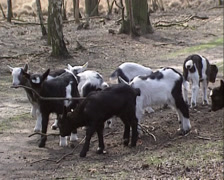 Goat kids playful, exploring in forest Stock Footage