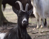 Stock Video Footage of female black Dutch Landrace goat, Ruminant - on camera