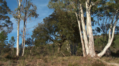 Massif de L'Esterel Eucalyptus Trees Stock Footage