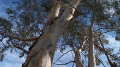 Massif de L'Esterel Eucalyptus Tree Canopy Stock Footage