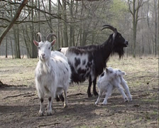 Female Dutch landrace goats with kid in nature reserve Stock Footage