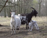 Stock Video Footage of Female Dutch landrace goats with kid in nature reserve