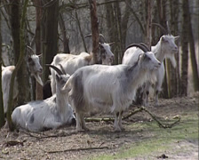 Dutch Landrace goats between trees in forest, ruminating Stock Footage