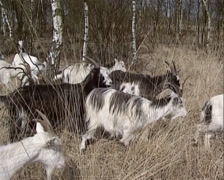 Herd of the Dutch Landrace goats moving in high grass Stock Footage