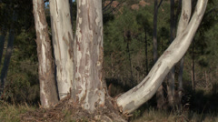 Massif de L'Esterel Eucalyptus Trunks Stock Footage