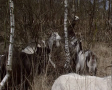 Herd of the Dutch Landrace goat moving,  eating in birch forest Stock Footage