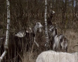 Stock Video Footage of Herd of the Dutch Landrace goat moving,  eating in birch forest