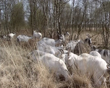 Herd of the Dutch Landrace goat moving, eating in high grass in peat bog Stock Footage